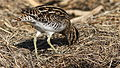 African Snipe, Gallinago nigripennis at Marievale Nature Reserve, Gauteng,South Africa (21331510918).jpg