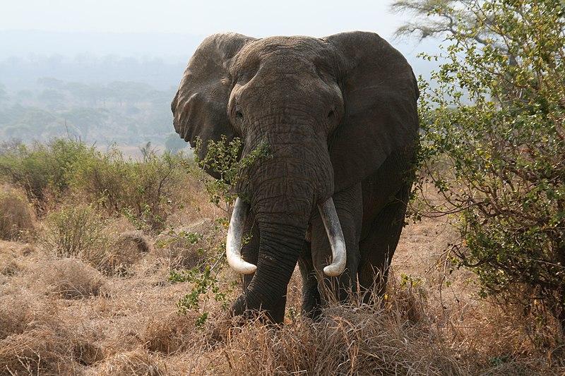 File:African bull elephant Tanzania.jpg