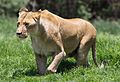 African lion, Panthera leo at Krugersdorp Game Park, South Africa (30479170374).jpg