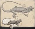 Agama colonorum - 1700-1880 - Print - Iconographia Zoologica - Special Collections University of Amsterdam - UBA01 IZ12700093.tif
