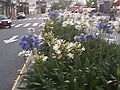 Agapanthus White 01.jpg
