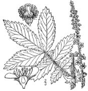 Agrimonia gryposepala drawing.png