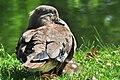 Aix galericulata (Küken) - Nymphenteich Zürichhorn 2011-06-10 16-30-58.jpg
