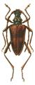 Akimerus schaefferi 1.png
