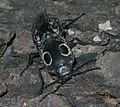 Alaus oculatus P1250489a.jpg