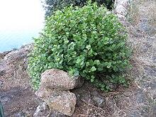 Pianta di Capparis Spinosa presso Alicudi, Isole Eolie