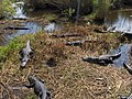 Alligators at Royal Palm^ - panoramio (2).jpg