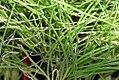 Allium fistulosum 0zz.jpg