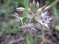 Alliumcampanulatum