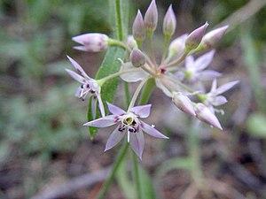 Allium campanulatum - Image: Alliumcampanulatum