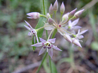 <i>Allium campanulatum</i> species of plant