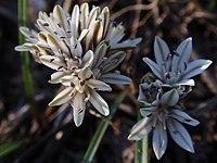 Alliumobtusum.jpg