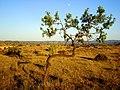 Almendro en secano II - panoramio.jpg