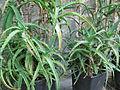 Aloe Arborescens 1. (2841989101).jpg