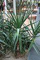 Aloe Arborescens Azul-Sudafrica (1) (11983635114).jpg