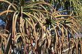 Aloe bainesii - Leaning Pine Arboretum - DSC05736.JPG