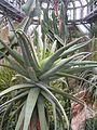 Aloe speciosa BotGardBln271207E.jpg