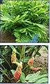 Alpinia galanga (Linn.) Willd.jpg