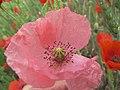 Amapola en rosa (14518264105).jpg