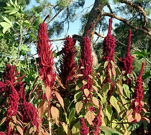 Amaranth - Amaranthus flowering