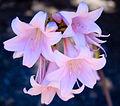 Amaryllis belladonna (5).jpg