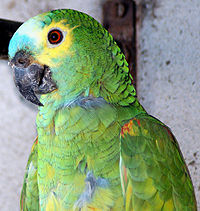 Amazona aestiva -pet in Brazil-8a (1).jpg
