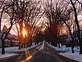 American Elms in the cold of winter. The largest stand of American Elms - panoramio.jpg