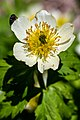 American Globeflower - rollius albiflorus (37037211132).jpg