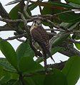 American Kestrel.Falco sparverius - Flickr - gailhampshire.jpg