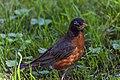 American Robin (29264054177).jpg