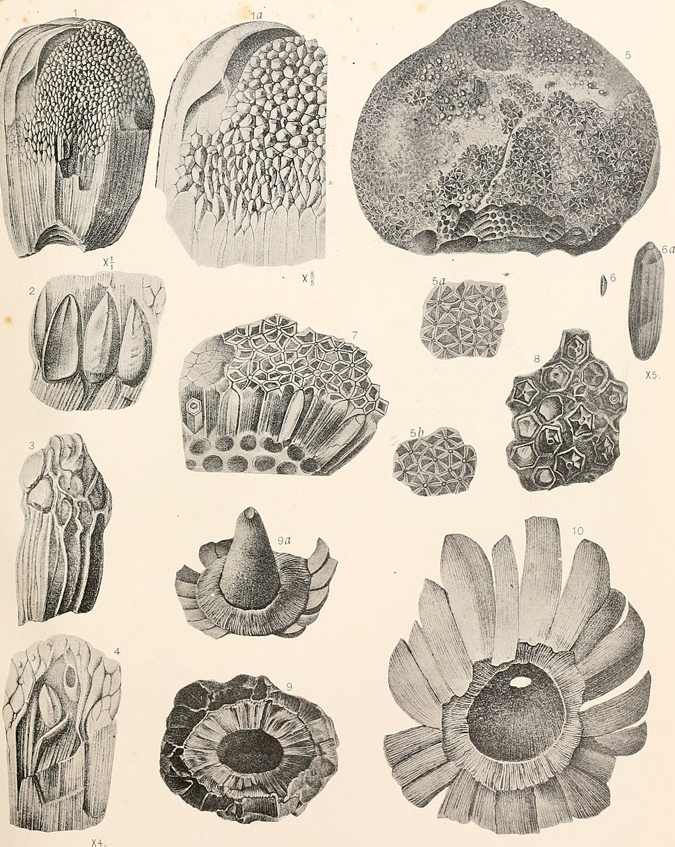 American fossil cycads (1906) (18143988832)