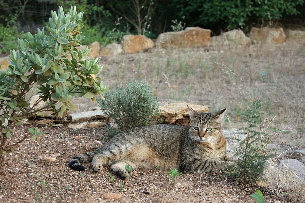 El american shorthir es un gato juguetón y necesitará en espacio en donde pueda actuar con libertad