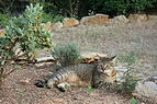 American shorthair in french garden.JPG
