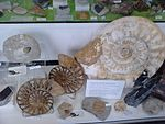 Ammonites for sale at the Albert Dock, Liverpool - 2013-06-07 (6).jpg