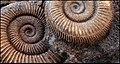 Ammonoidea-Ammonieten.jpg