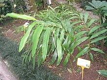 Amomum villosum - Hong Kong Botanical Garden - IMG 9580.JPG