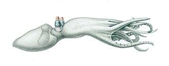 Octopus -  Amphitretus pelagicus