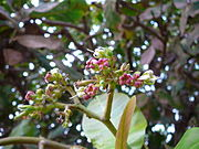 Anacardium occidentale 0012.jpg