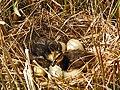 Anas platyrhynchos ducklings.jpg