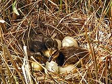 220px-Anas_platyrhynchos_ducklings dans OISEAUX