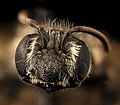 Andrena atlantica, f, face, Prince George's Co., MD 2017-03-15-12.25 (35891153464).jpg