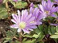Anemone blanda2.jpg