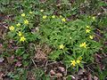 Anemone ranunculoides20140502 03.jpg