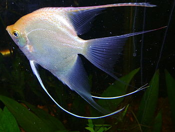 English: Pterophyllum scalare - Angel Fish