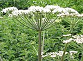 Angelica plant - geograph.org.uk - 444999.jpg