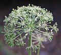 Angelica seedhead.jpg