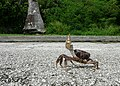 Angry Crab, Crossing the Road (256233615).jpg