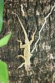 Anolis oculatus at Batalie-2009-12-09-IMG 7558.jpg