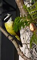 Another (or the same) Great Kiskadee (6036474756).jpg