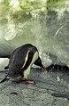 Antarctic, gentoo penguin (js) 59.jpg